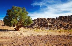 Cypress sahariano, Tassili N'Ajjer, Argelia Imágenes de archivo libres de regalías