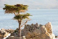 Cypress solitário Fotografia de Stock
