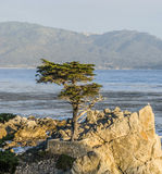 Cypress solitaire au 17-Miles-Drive en Californie Photos stock