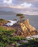 Cypress solitario Foto de archivo