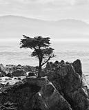 Cypress solitario en Pebble Beach Imágenes de archivo libres de regalías