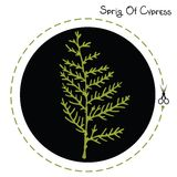 Cypress sprig. Vector cypress sprig. Cypress sprig. Vector illustration Stock Image