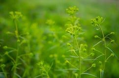 Cypress spurge buds Stock Photos