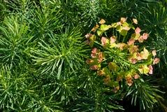 Cypress Spurge (cyparissias del euforbio) Fotos de archivo