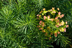 Cypress Spurge (Euphorbia cyparissias). Leaves and flowers Stock Photos