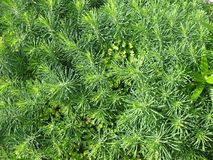 Cypress spurge (Euphorbia cyparissias) Royalty Free Stock Image
