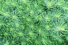 Cypress spurge (Euphorbia cyparissias) Royalty Free Stock Photos