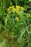 Cypress spurge (Euphorbia cyparissias). In the meadow Stock Image