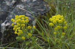 Cypress spurge. Euphorbia cyparissias, a plant growing in dry grassland Royalty Free Stock Photography