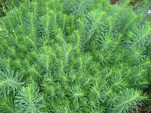 Cypress spurge Stock Images