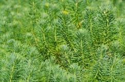 Cypress spurge Stock Photos