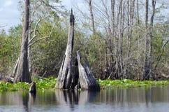 Cypress Stump, Spatterdock, Okefenokee Swamp National Wildlife Refuge Stock Photography