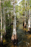 Cypress Swamp Royalty Free Stock Photography