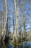 Cypress Swamp. Cypress and tupelo trees in swamp Royalty Free Stock Images