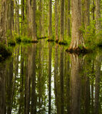 Cypress Swamp. South carolina swamp filled with Cypress Trees Royalty Free Stock Image