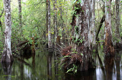 Cypress Swamp arkivfoton