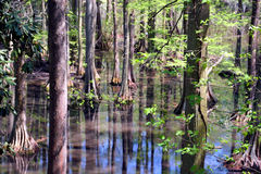 Cypress swamp. Summer blue sky reflection in water Stock Photography