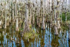 Cypress swamp along Loop Road in Big Cypress National Reserve, E royalty free stock photo