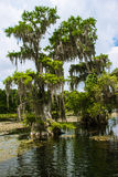 Cypress swamp  on background of cloudy sky, Wakulla Springs, Flo. Spanish moss, hanging from a cypress swamp. Wakulla Springs, Florida, USA Royalty Free Stock Photos