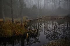 Cypress Swamp in the Foggy Bottom. Knotty cypress swamp with fog Royalty Free Stock Images