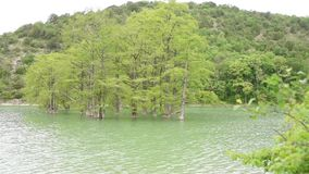 Cypress swamp growing out of the water on background of mountains overgrown with trees stock video