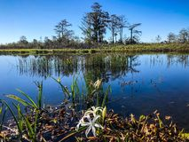 Cypress swamp landscape. Swamp flowers and cypress trees on the shore of the river stock photo