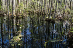 Cypress Swamp Royalty Free Stock Images