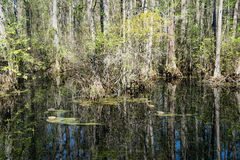 Cypress Swamp Royalty Free Stock Image