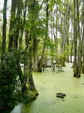 Cypress Swamp Stock Image