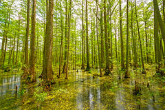 Cypress Swamp in Spring Stock Images