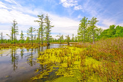 Cypress swamp on a Sunny Day. Cache River Cypress Swamp in Southern Illinois Royalty Free Stock Photo