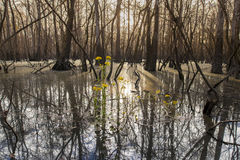 Cypress swamp at sunrise. Low view of cypress swamp in the American South at sunrise Stock Photography