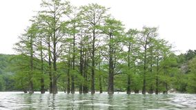 Cypress swamp water spring. Tree trunks of cypress swamp, growing out of the water stock video