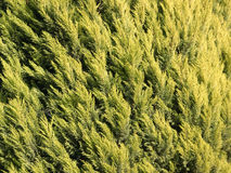 Cypress texture. Cypress tree close-up stock photography