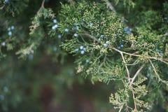 cypress Thuja barrträd, nära övre för filial Selektivt fokusera arkivbilder