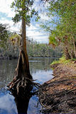 Cypress tree. On shore of Florida swamp royalty free stock images