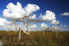 Cypress Tree. A dwarf cypress tree in Everglades National Park Royalty Free Stock Image