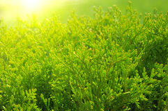 Cypress tree. Close up green cypress tree in the sunlight stock photography