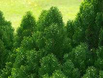 Cypress tree Royalty Free Stock Photo