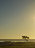 Cypress tree alone at the ocean Royalty Free Stock Photos