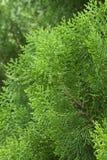 Cypress tree Stock Photos