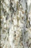 Cypress Tree Bark Royalty Free Stock Photography
