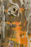 Cypress tree bark detail. Of colorful trunk after the rain Stock Photo