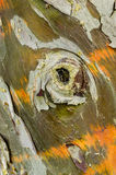 Cypress tree bark detail. Of colorful trunk after the rain Stock Image