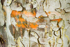 Cypress tree bark detail. Of colorful trunk after the rain Royalty Free Stock Photo