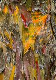 Cypress tree bark detail. Of colorful trunk after the rain Stock Photos