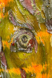 Cypress tree bark detail. Of colorful trunk after the rain Royalty Free Stock Image