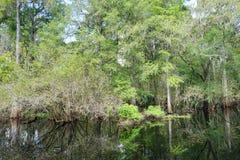 Cypress Tree Royalty Free Stock Image
