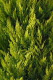 Cypress tree. Closeup of cypress tree for background use stock image
