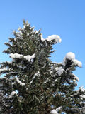 Cypress tree covered with snow. Cypress tree with cones covered with fluffy snow royalty free stock image
